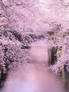 Line of cherry trees along the Meguro river, Tokyo, Japan
