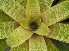 Vriesea 'Franklin Forest' (Vriesea fenestralis x Vriesea fosteriana)