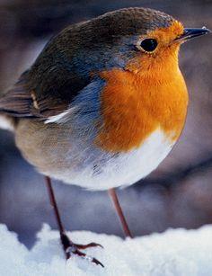 Resultados de la busqueda de imagenes de Google de http://img.dailymail.co.uk/i/pix/2007/03_02/BirdsRobinDM_468x610.jpg