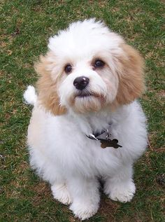 Cavachon.....cavalier king charles and bichon..... the same as my puppy but Honey is more gold!