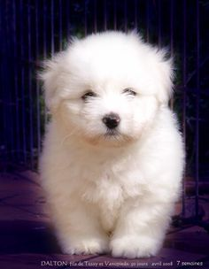 Dalton of Cartoonland. Boxer Dogs, Pet Dogs, Dog Cat, Puppies And Kitties, Cute Puppies, Coton De Tulear Puppy, Cute Puppy Photos, Hypoallergenic Dog Breed, Puppy Care