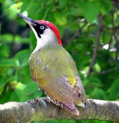 Green Woodpecker, British Wildlife, Kinds Of Birds, Bird Pictures, Bird Design, Amazing Nature, Beautiful Birds, Birds In Flight, Habitats