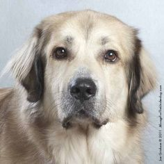 McKool is an adoptable Great Pyrenees Dog in Dallas, TX. Hi, I'm McKool! I am a gentle giant that loves people and other dogs. I LOVE riding in the car (I prefer the front seat!) but my favorite thing...