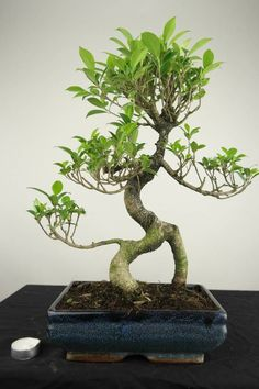 Bonsai+Fig+Tree,+Ficus+retusa