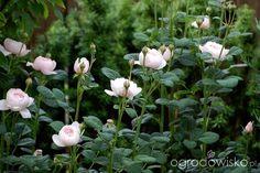 Ogród dla roślin o mocnych nerwach - strona 532 - Forum ogrodnicze - Ogrodowisko