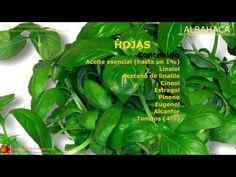 Propiedades de la albahaca. Nombre científico. Usos y propiedades medicinales de la planta de Albahaca. Descripción, origen, contenido y usos populares de las hojas de albahaca.