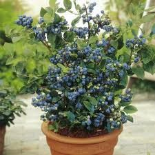 southern low bush blueberry grown in a container