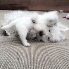 Morning cuddles! by emma_the_westie