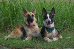 Riza (left) a German Shepherd Dog at 1 year and 6 months old and Hitman (right) a Panda German Shepherd Dog at 6 months old.
