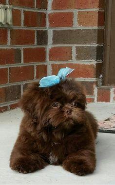 More About Cute Shih Tzu Puppies Shih Tzu Hund, Shih Tzus, Shih Tzu Puppy, Shitzu Puppies, Cute Puppies, Cute Dogs, Dogs And Puppies, Doggies, Havanese