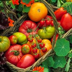 Grow Organic Tomatoes Growing Organic Food Can Save the Earth, Your Wallet, and Your Health Organic Mulch, Grow Organic, Organic Farming, Organic Gardening, Green Tomatoes, Growing Tomatoes, Growing Herbs, Gardening For Beginners, Gardening Tips