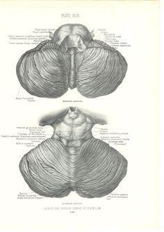 1926 Human Anatomy Print - Surface of Cerebellum