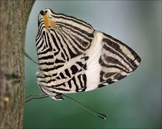 Zebra Mosaic or Dirce Beauty butterfly, found in Central America & the northern parts of South America.