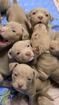 Pitbull pups! They are only as dangerous as you make them be! You raise your children to be good and they will be good, the same goes for pitbulls. Just like children they will act however they are raised. Common sense!