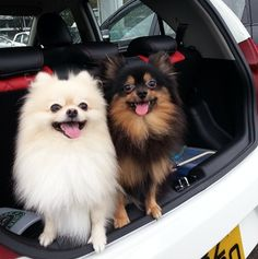 29 Quirky Pomeranian Traits Ever Pom Parent Will Recognise BowWow Times