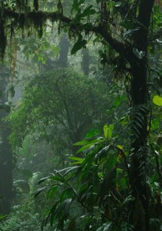 The sound of rain hitting large tree leaves in a rainforest.