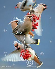 Skupinka krmících se brkoslavů (Bombycilla garrulus) Bird, Animals, Outdoor, Animales, Outdoors, Animaux, Birds, Animal, Outdoor Games