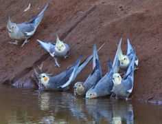 i wanna go to australia for 1 reason wild native cockatiels look at them drink water in their natural habitat…. Cute Baby Animals, Animals And Pets, Funny Animals, Funny Birds, Cute Birds, Funny Parrots, Pets 3, Cockatiel, Baby Budgies