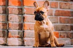 Hunde - Felli Photography - Vicky Fellinger Online Galerie, Great T Shirts, Dog Photography, French Bulldog, Dog Lovers, Dogs, Animals, Photo Shoot, Animales