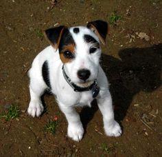 Jack russell terrier male jack