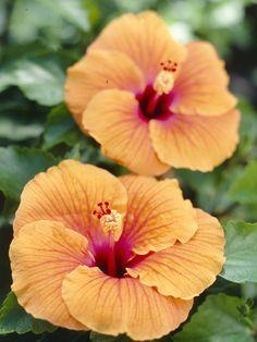 Hawaiianische Sommerliebe im Garten #pflanze #pflanzenfreude #hibiskus #plants #planters #pflanzen