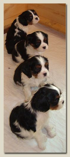 Cavalier King Charles Spaniels Tri colour puppies!