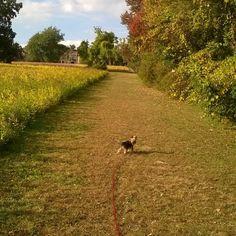 Boo the Yorkie takes the road less travelled.  #Yorkie #yorkies #Yorkshire terrier #yorkiesofig #akcyorkie