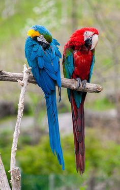 Blue & Yellow Macaw & Scarlet Macaw