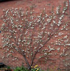 When I have my own garden I am definitely going to have a fan trained fruit tree - I've always wanted to do this