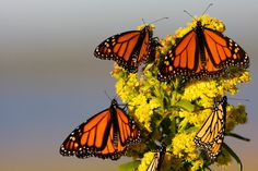 Migrating monarchs! Learn more about their annual journey. It's amazing!
