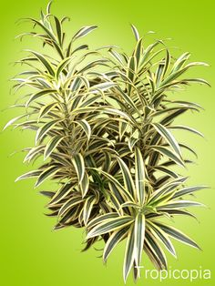 Yellow and green stripes on Dracaena Reflexa-Song of India Plant. Easy Plants