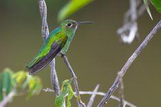Foto beija-flor-verde (Polytmus theresiae) por Joao Quental | Wiki Aves - A Enciclopédia das Aves do Brasil