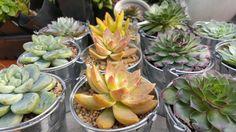 This item is unavailable Succulent Wedding Favors, Wedding Favours, Buy Succulents Online, Pail Bucket, Baby Shower Favors, Corporate Gifts, Rosettes, Etsy Shop, Plants