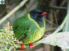 https://www.facebook.com/WonderBirds-171150349611448/ Ăn quả xanh và đen; Họ Cotinga-Cotingidae; Nam Mỹ || Green-and-black fruiteater (Pipreola riefferii) IUCN Red List of Threatened Species 3.1 : Least Concern (LC)(Loài ít quan tâm)