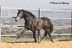 Stunning Young stallion for sale.Extraordinary gaits - classical and wide with power from behind - perfect for dressage. Dressage, Labrador, Horses, Animals, Animaux, Horse, Animal, Labradors, Animales