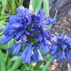 25+ AGAPANTHUS BLUE LILY OF THE NILE FLOWER SEEDS / PERENNIAL in Home & Garden, Yard, Garden & Outdoor Living, Plants, Seeds & Bulbs | eBay