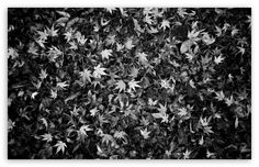 fallen_leaves_black_and_white-t2.jpg (510×330)