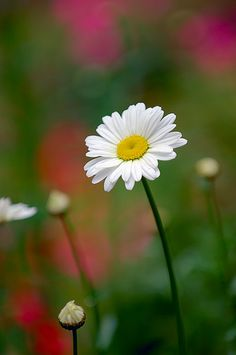 ❀◕ ‿ ◕❀ Flowers Daisies Make Me Happy