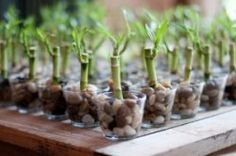 Lucky bamboo wedding or.party favors. You could also do this with cactus or succulents.