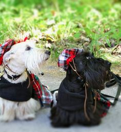 White and Black Scottie dogs dressed up in their finest tartan.