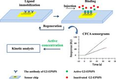 SI-traceable calibration-free analysis for the active concentration of G2-EPSPS protein using surface plasmon resonance