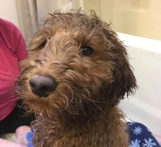 Best Shampoo for a Labradoodle! (2020) 19 F1b Labradoodle, Puppy Shampoo, Genetics Traits, Love Doodles, Fluffy Coat, Best Puppies, Best Shampoos, New Puppy, Poodle