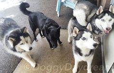 Husky Pack! (Rob Clue Kali Trey) #doggydaydream #doggydaycare #husky #pack #dogs #dog #dogstagram #instadog #dogsofinstagram #biz4dogs