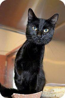 McKinney, TX - Domestic Mediumhair. Meet Butch Catsidy, a cat for adoption. http://www.adoptapet.com/pet/11214821-mckinney-texas-cat