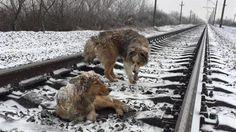 Video | El perro valiente que pasó 2 días en las vías nevadas del tren para salvar a su amiga herida - http://www.notiexpresscolor.com/2016/12/29/video-el-perro-valiente-que-paso-2-dias-en-las-vias-nevadas-del-tren-para-salvar-a-su-amiga-herida/