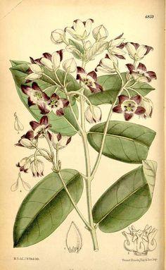 Calotropis procera (Aiton) R. Br. Curtis's Botanical Magazine, vol. 112 [ser. 3, vol. 42]: t. 6859 (1886) [M. Smith] Calotropis procera  and gigantea POISON!
