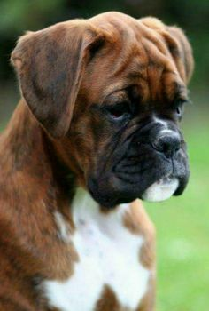 Receive excellent ideas on boxer dogs. They are actually on call for you on our website. Boxer And Baby, Boxer Love, Cute Puppies, Cute Dogs, Dogs And Puppies, Doggies, Boxer Dog Puppy, Dog Cat, Boxers