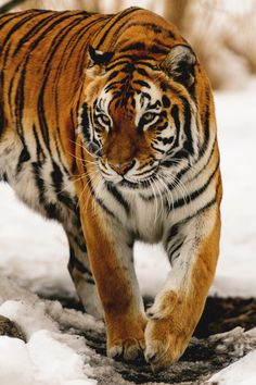 Tiger walking through the snow.