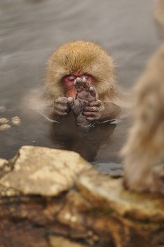 Snow Monkey doing some foot grooming while soaking in the hot springs.