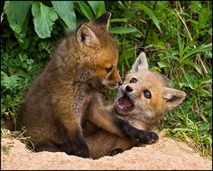 This baby fox has an expert choke-hold.   Community Post: Baby Animal Fight Club!